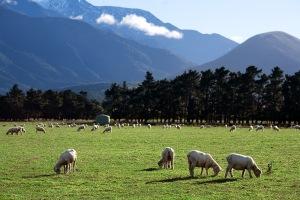 Sheep Save Lives